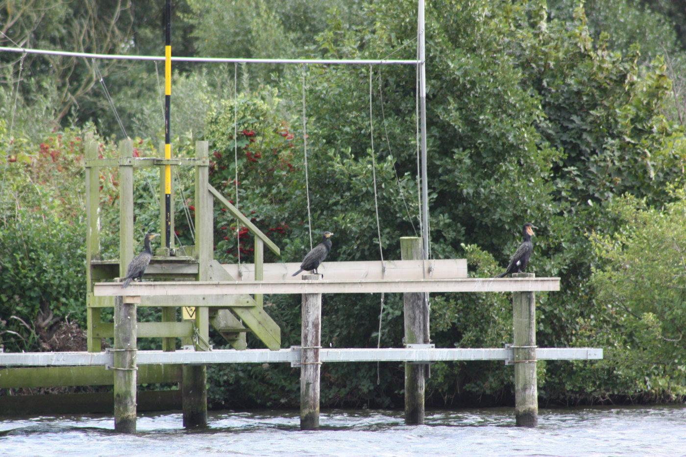 3 cormorants