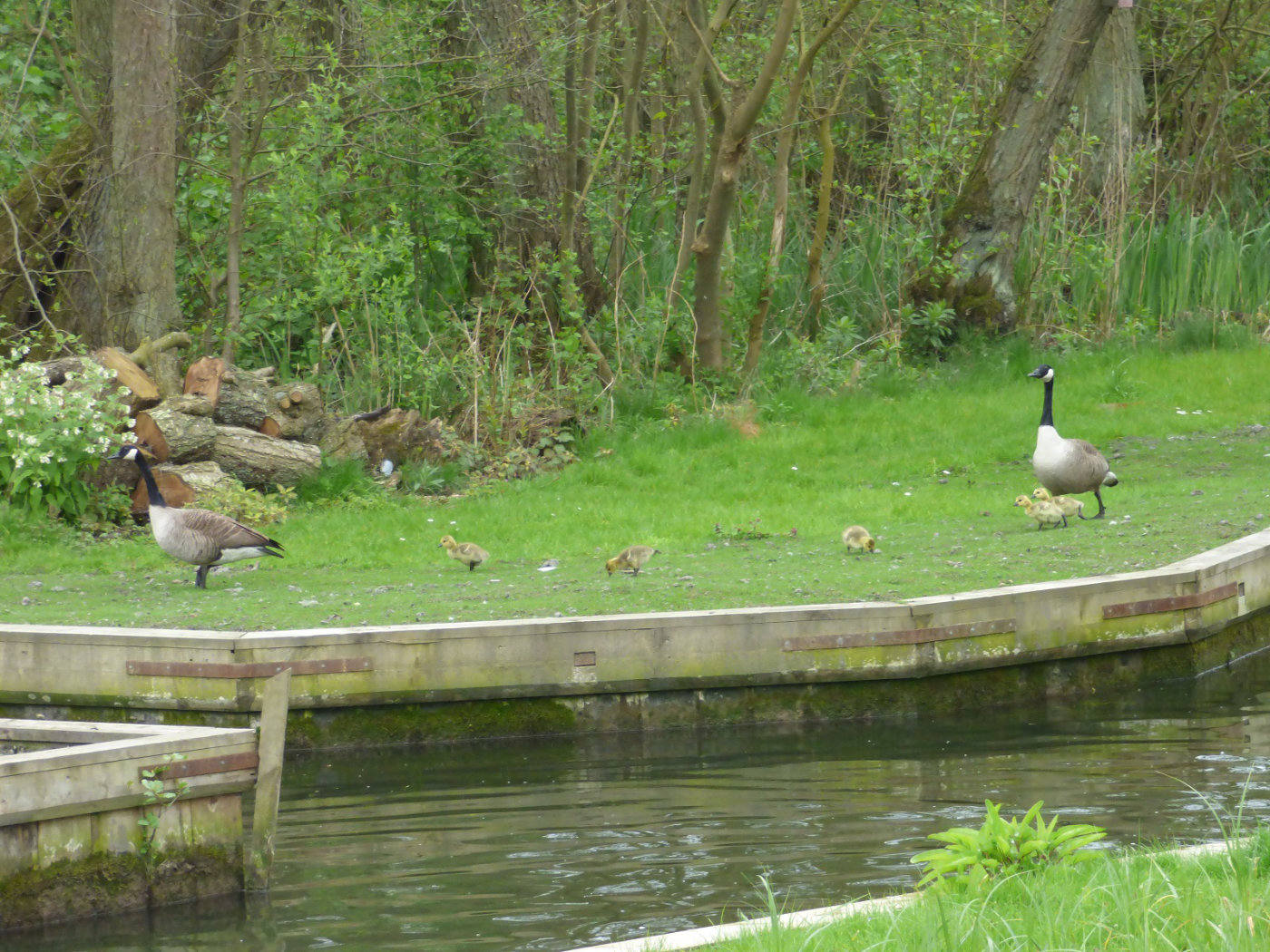 Canadian Geese in Wroxham
