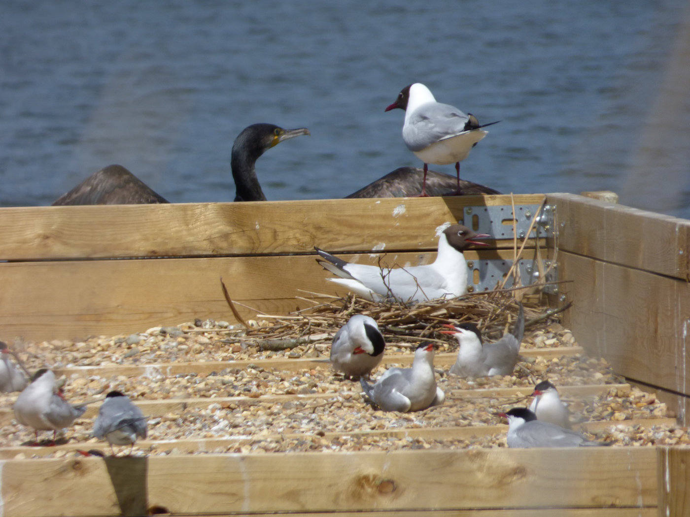 Black headed gull with Common Terns