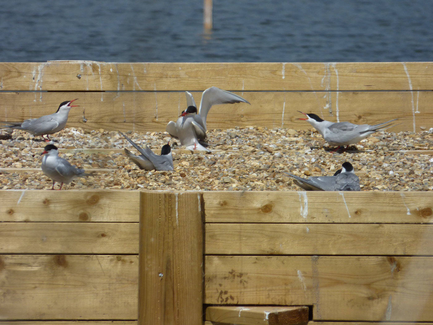 Common Terns on the Norfolk Broads