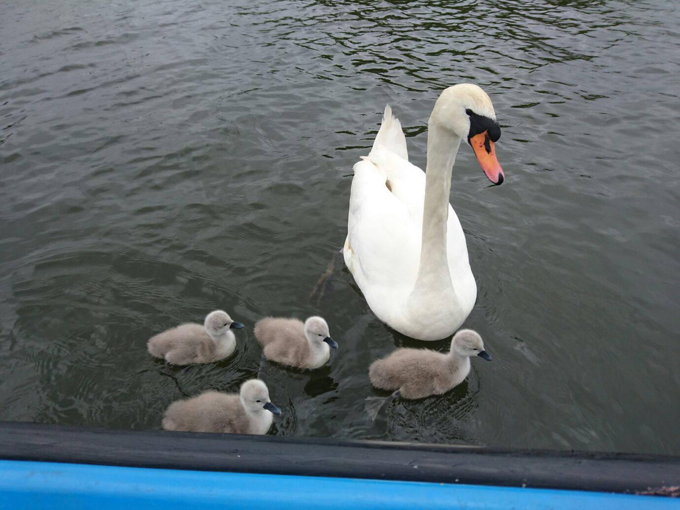 Norfolk Broads swan and cygnets