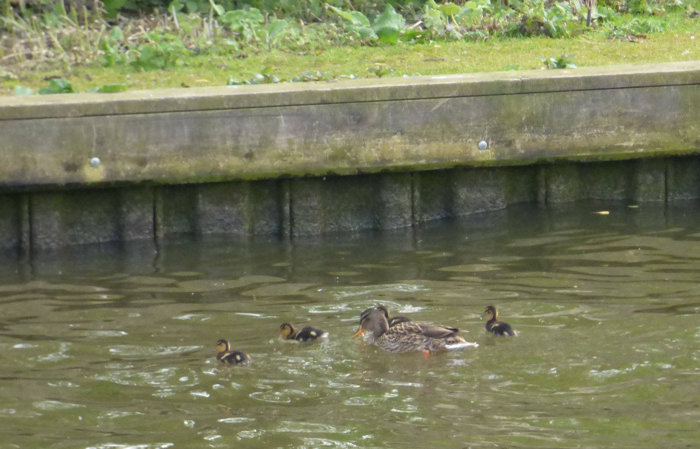 Mallard and ducklings on the Norfolk Broads
