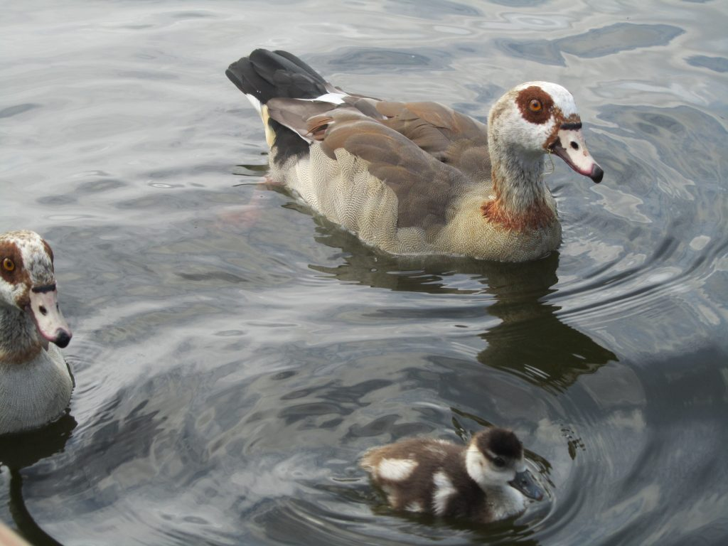 Eygption geese