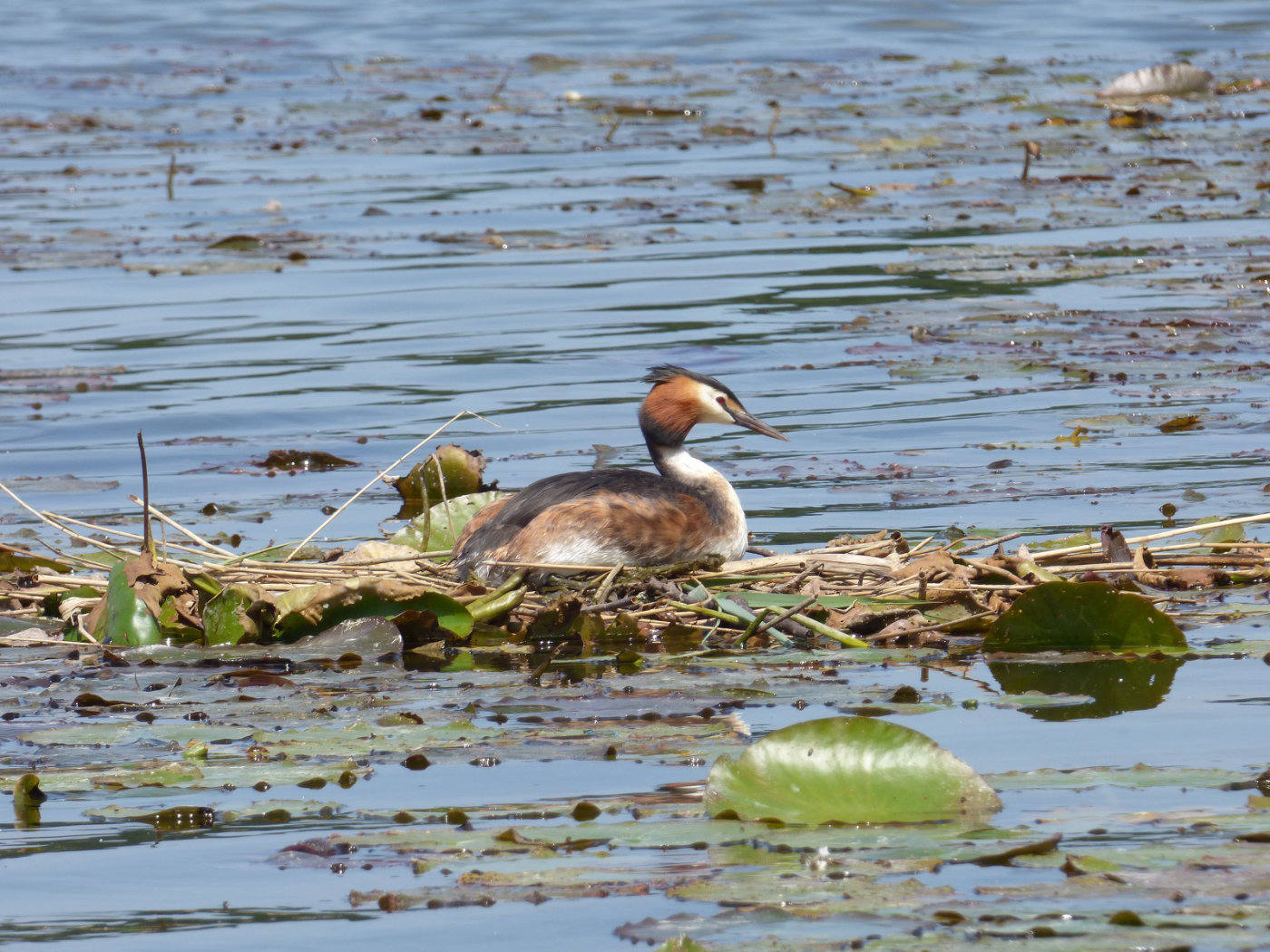 Female Nesting Grebe - Norfolk Broads