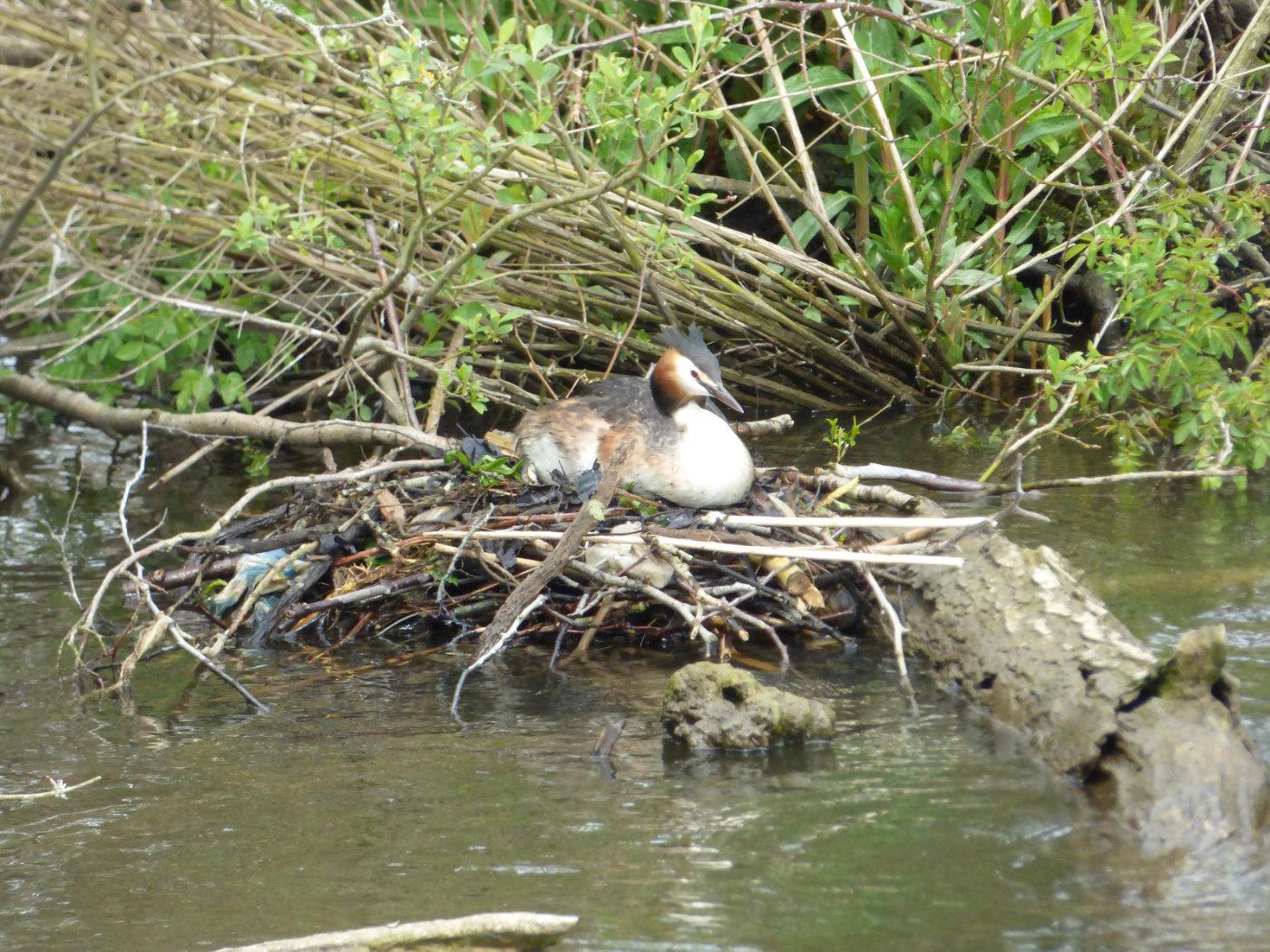 Norfolk Broads Nesting Grebes