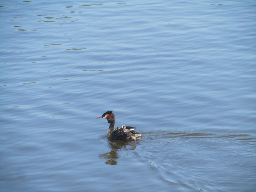 Grebes with babies on their backs