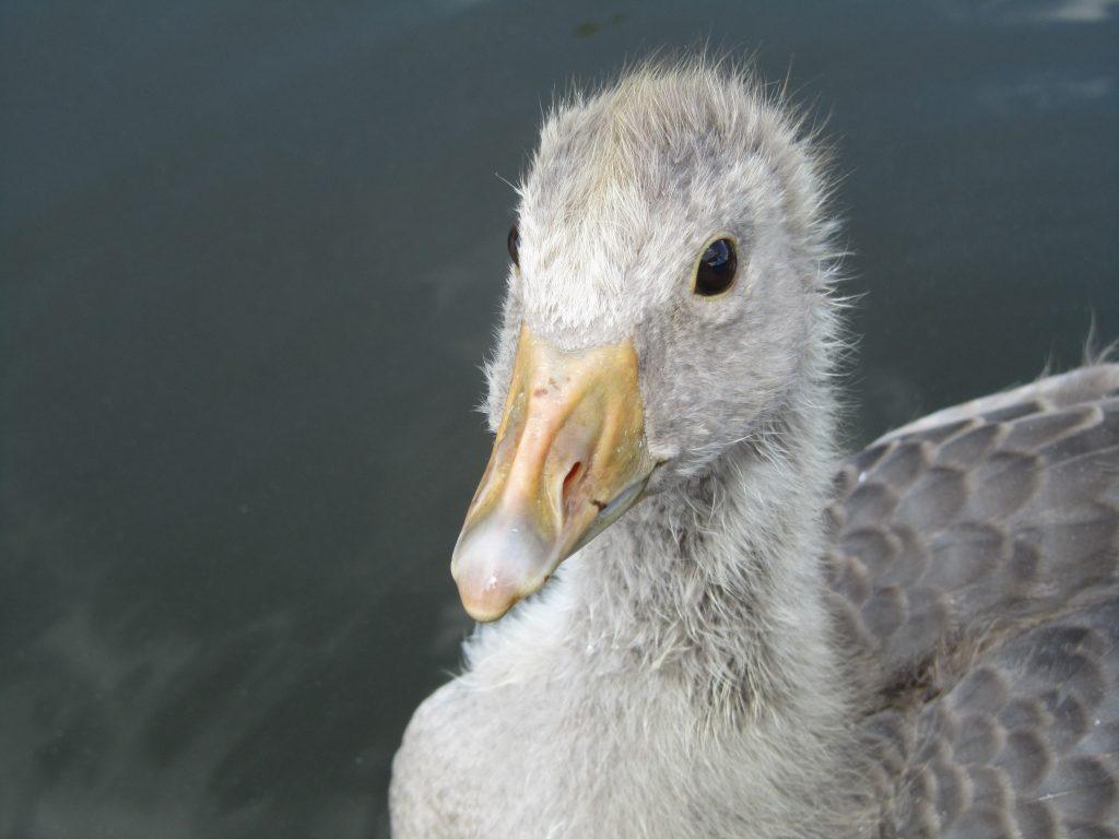 Greylag Goose gosling close up