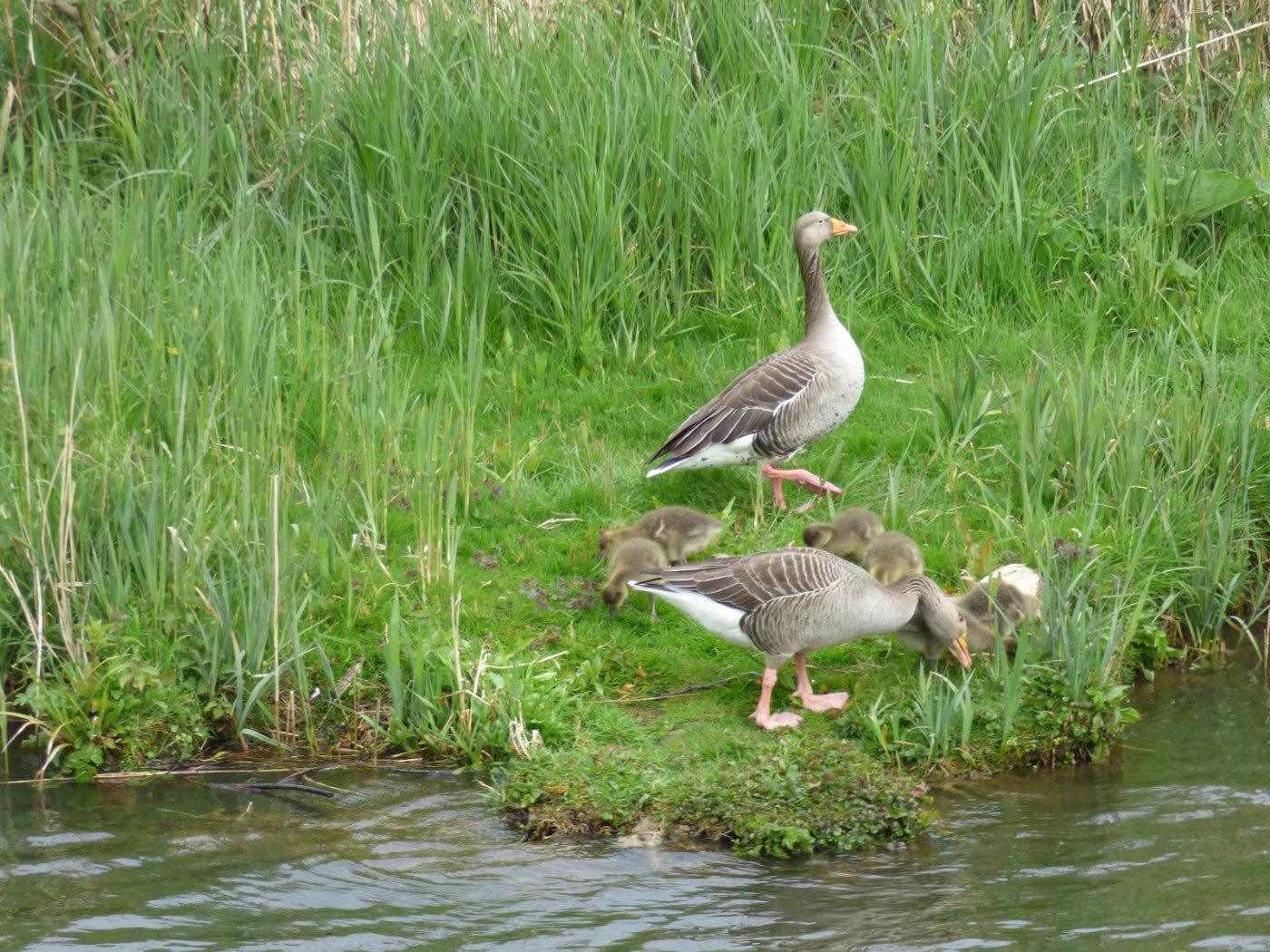 Greylag Goose and Gosling on the Norfolk Broads