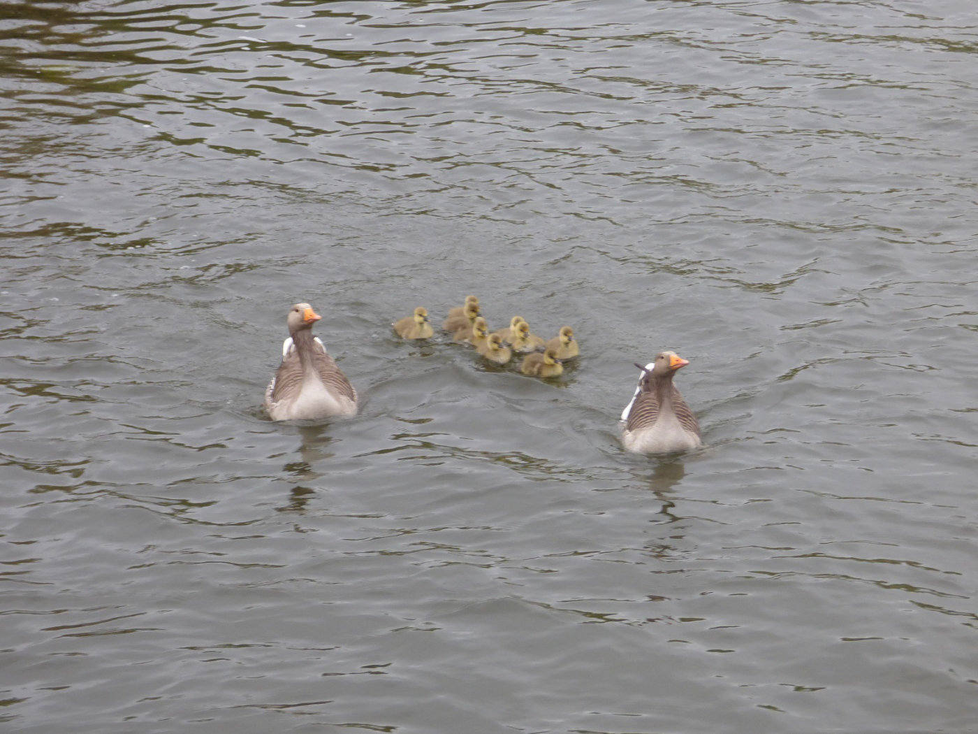 Greylag Geese and Gosling on the Broads