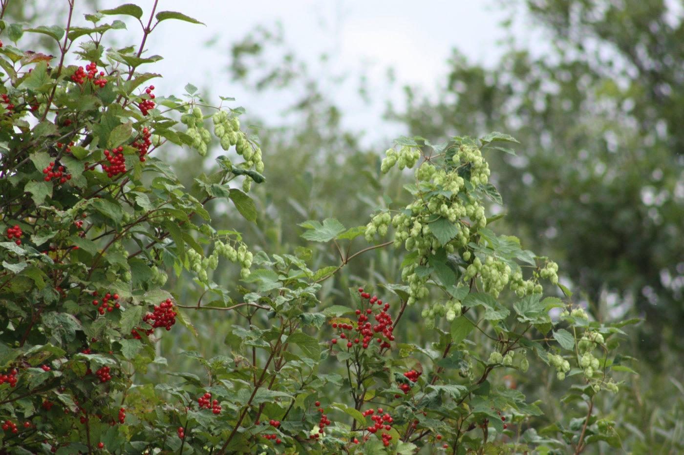 Guelder rose and Hops