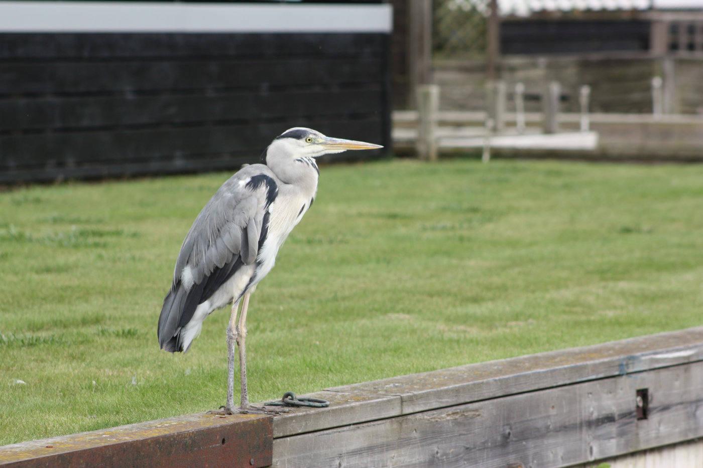 Heron Adult