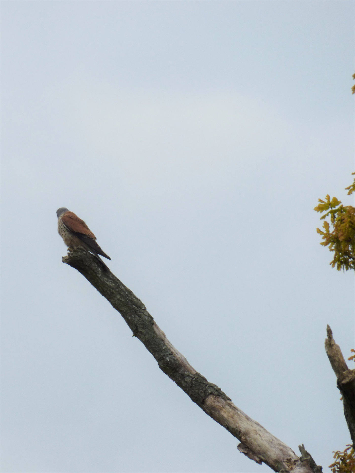 A Kestral on Wroxham Island