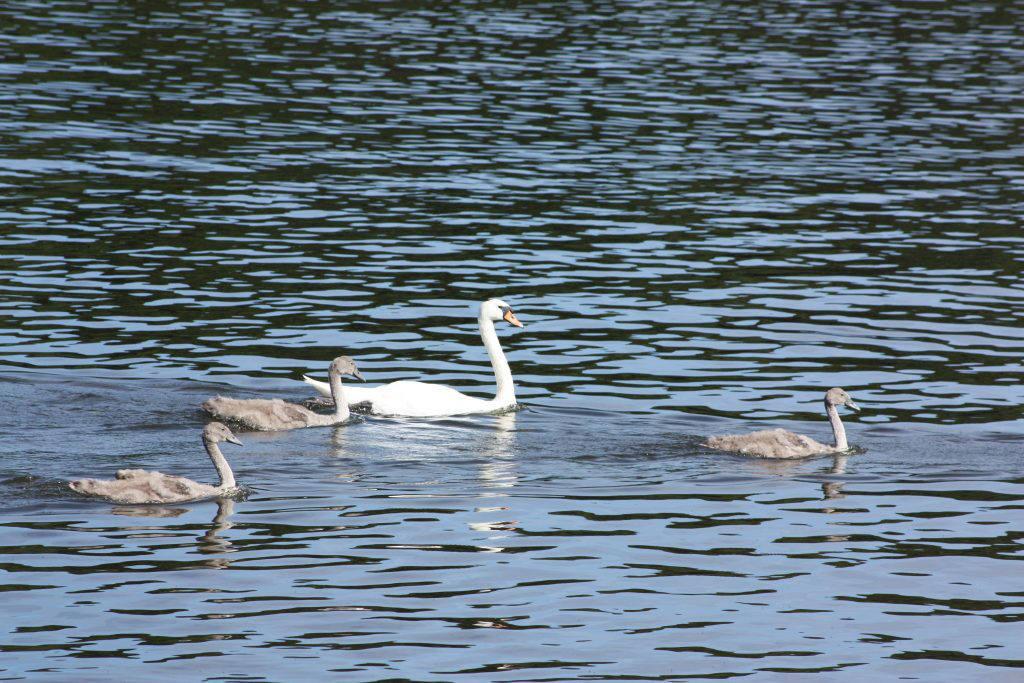 Salhouse Broad swan family