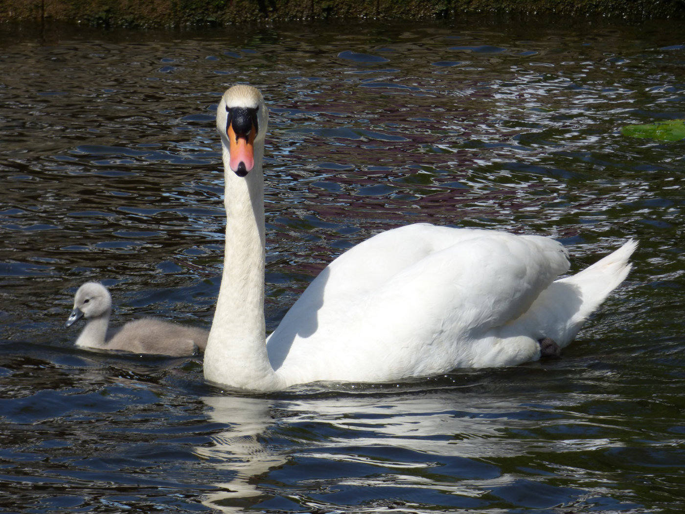 A swan and cygnet