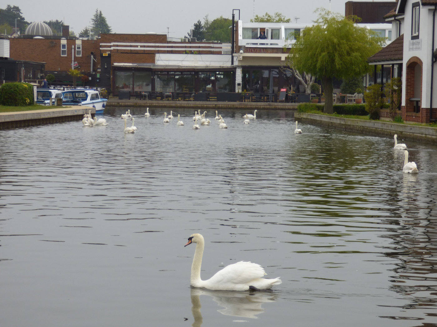 Swans in Wroxham Village