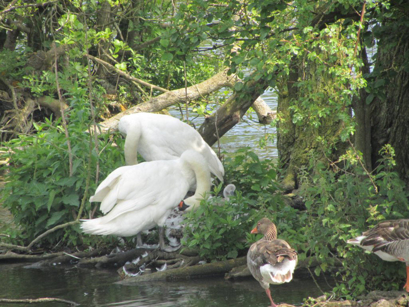 Swans on nest at Salhouse