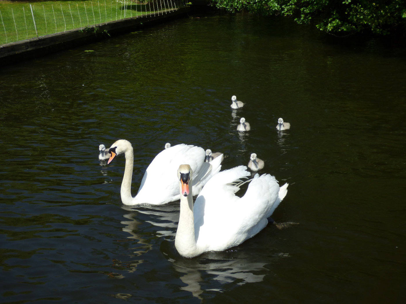 Swans and cygnets swimming on the Broads
