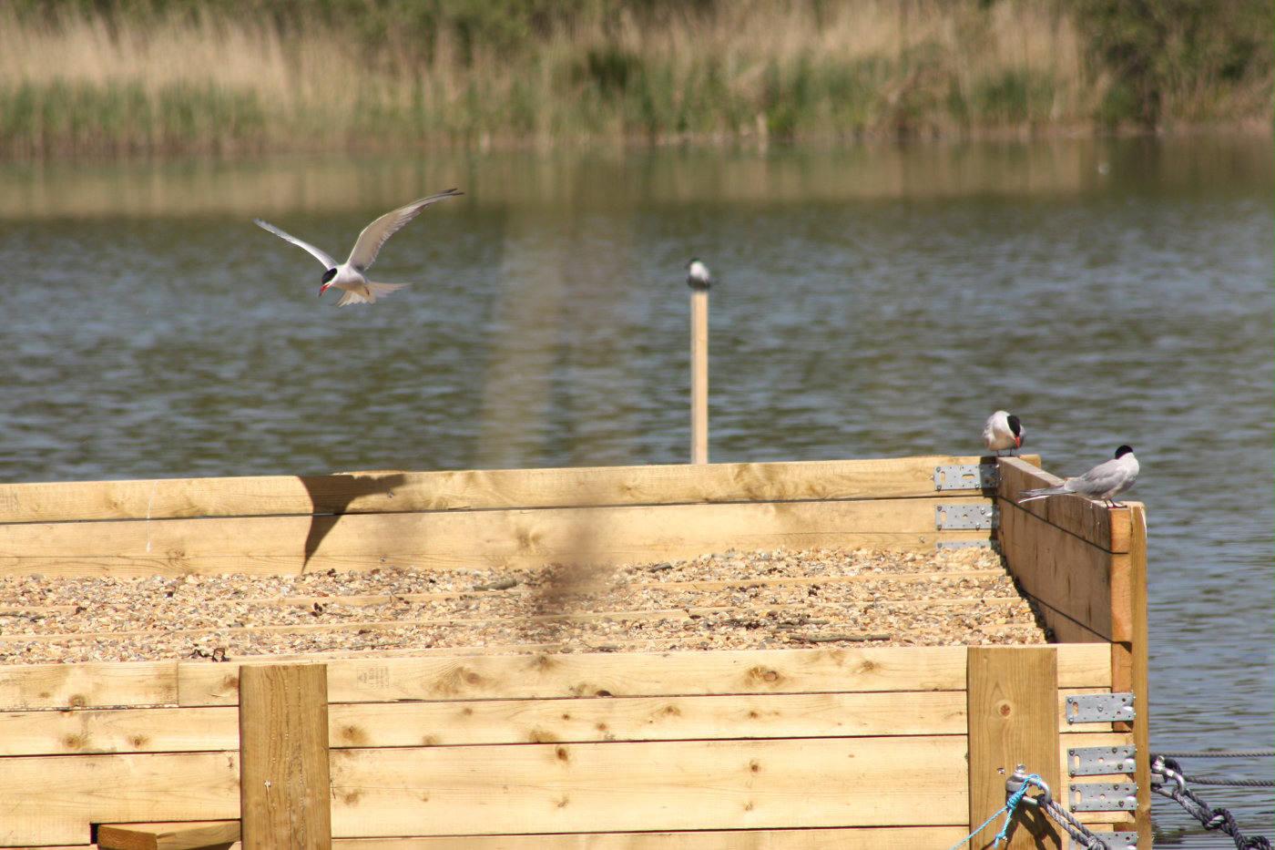 Common Terns on platform at Hoveton Great Broad