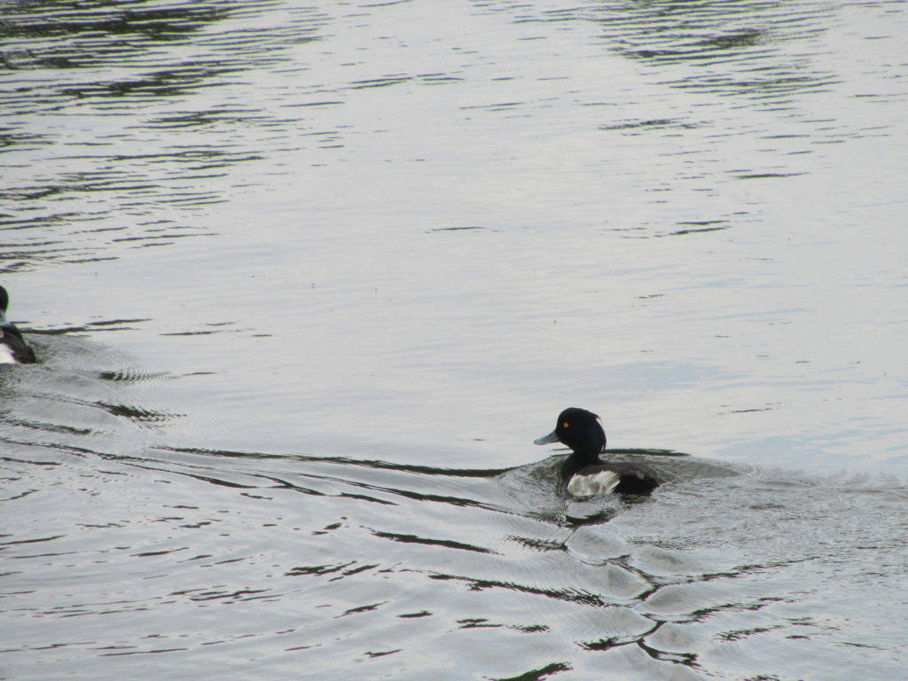 Tufted-duck-2-low-res