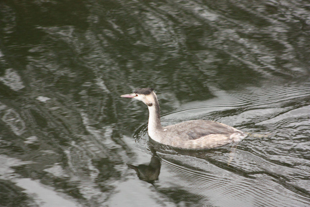 Winter-great-crested-grebe-low-res