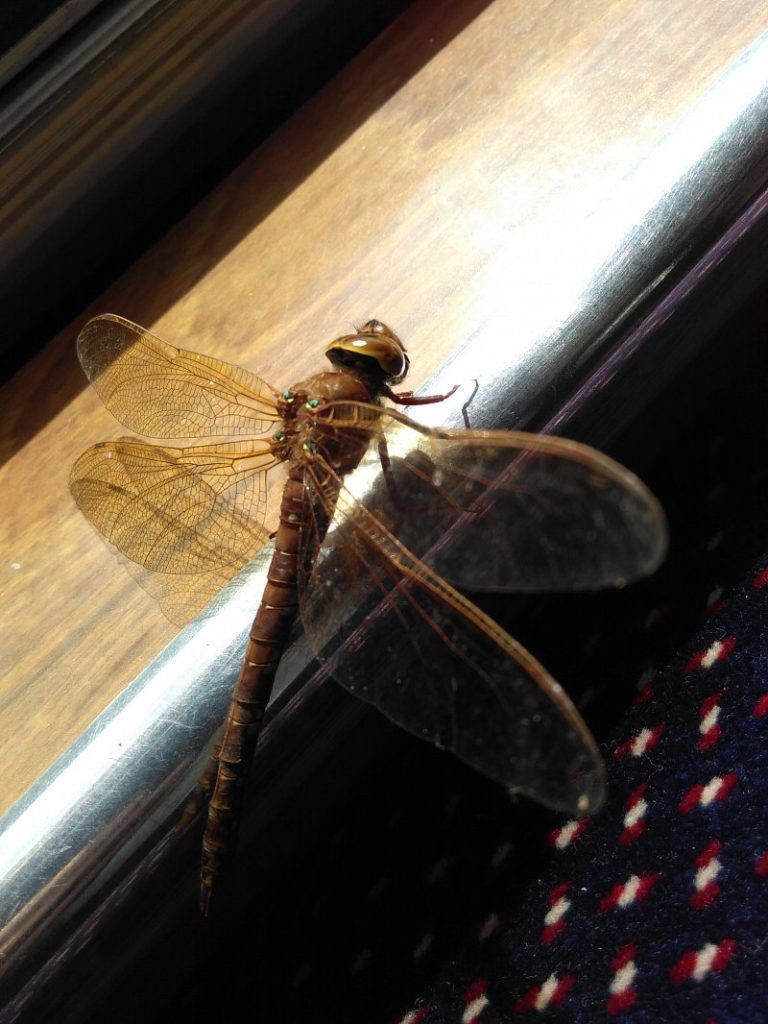 brown-hawker-dragonfly-w800