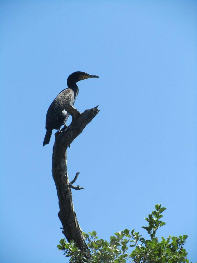 cormorant-4-w800