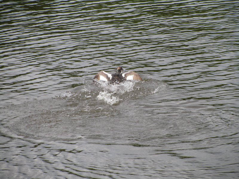 grebe-fight-2-w800
