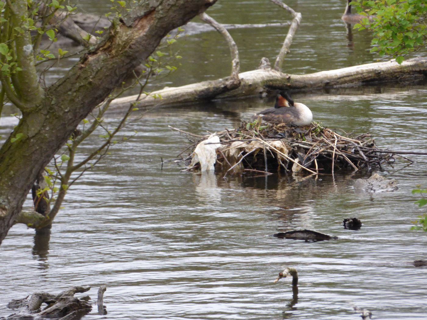 Grebe Nest on the Broads