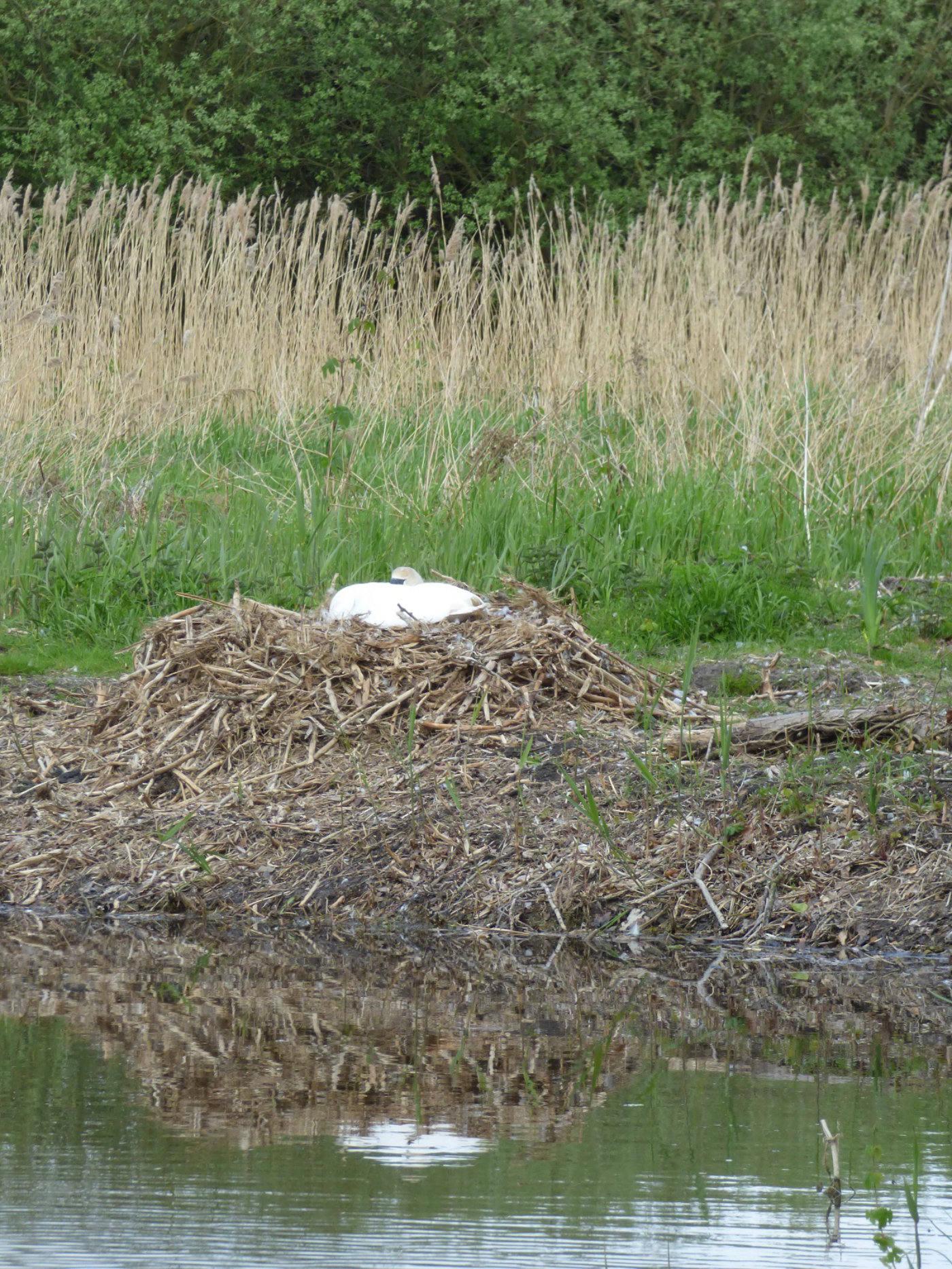 Nesting swan in Surlingham