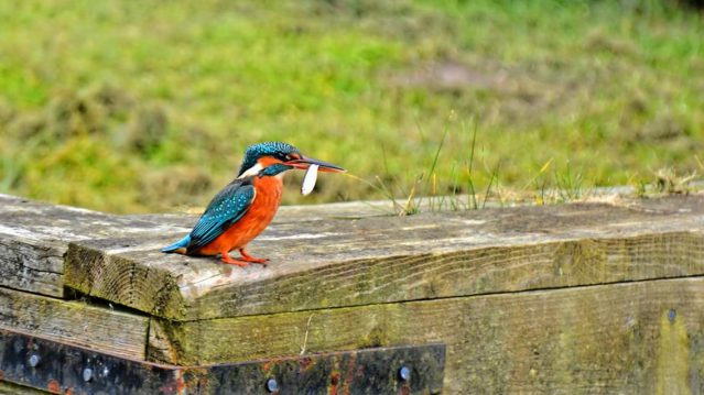 Kingfisher_(c) Gary Howes