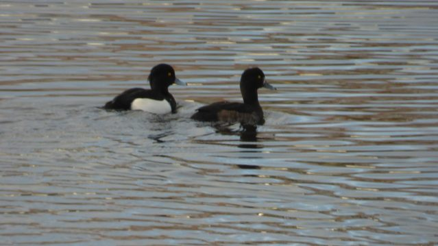 Tufted-duck-pair