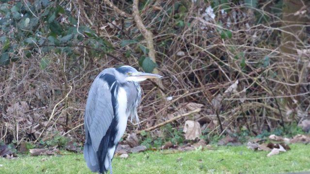 4-Heron-looking-grumpy