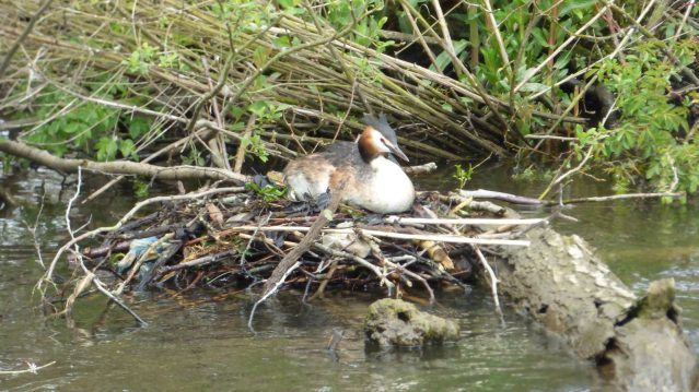 Great-crested-Grebe-nesting-on-Salhouse-Broad