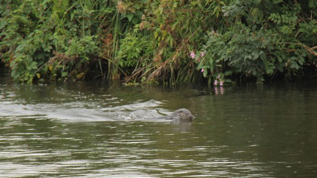 Otter-taken-on-Queen-of-Broads
